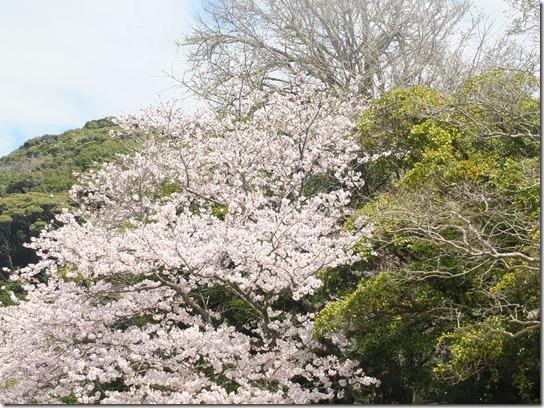 鎌倉 牡丹 桜 062