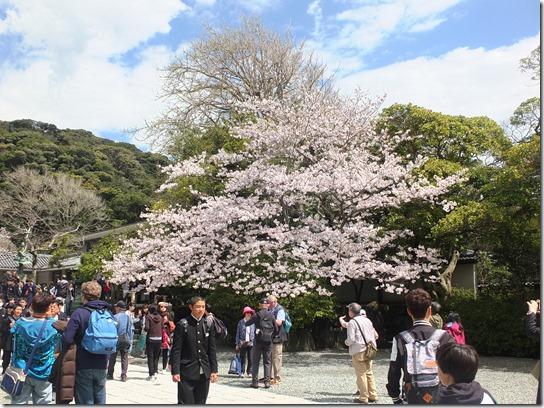 鎌倉 牡丹 桜 065