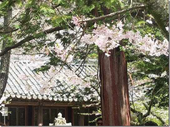 鎌倉 牡丹 桜 079