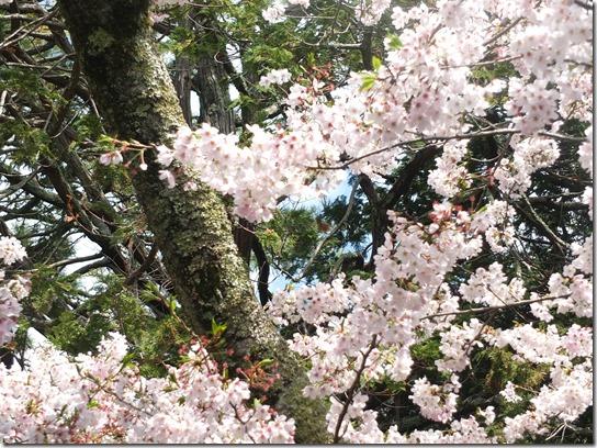 鎌倉 牡丹 桜 080