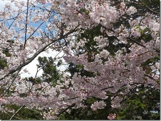 鎌倉 牡丹 桜 081