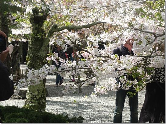 鎌倉 牡丹 桜 093
