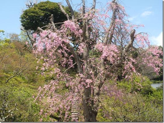 鎌倉 牡丹 桜 109