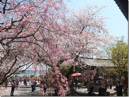 鎌倉 牡丹 桜 128