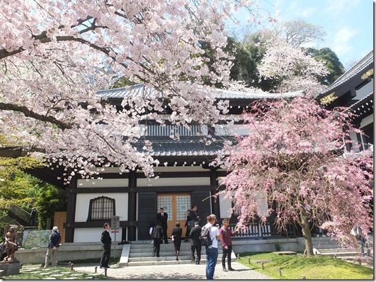 鎌倉 牡丹 桜 131