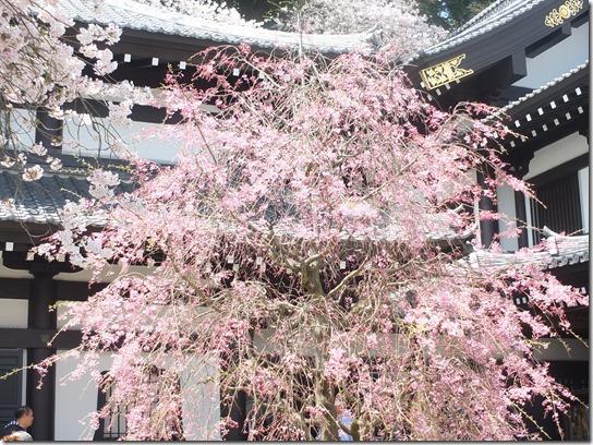 鎌倉 牡丹 桜 132