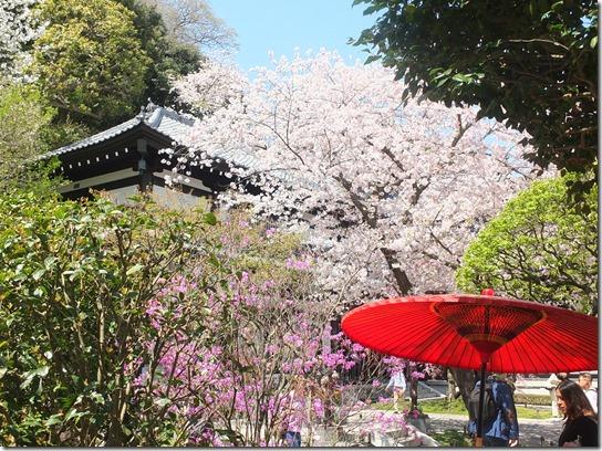 鎌倉 牡丹 桜 148