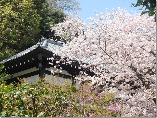 鎌倉 牡丹 桜 149