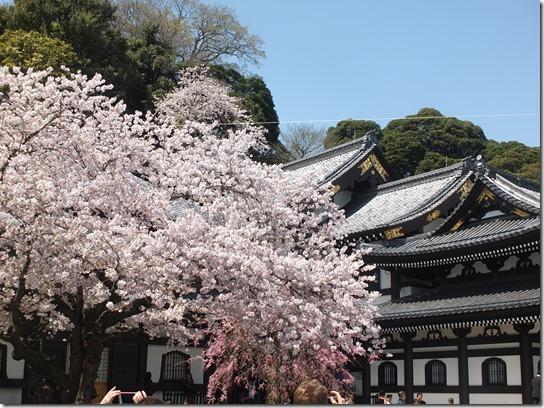 鎌倉 牡丹 桜 154