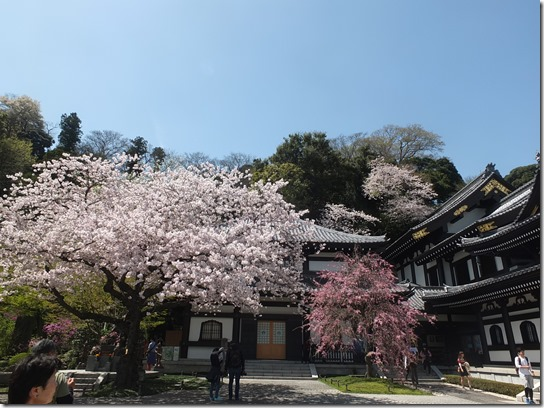 鎌倉 牡丹 桜 155