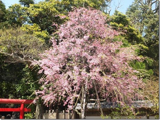 鎌倉 牡丹 桜 163