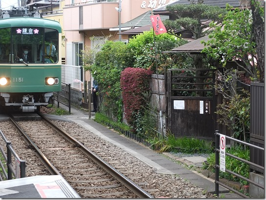 鎌倉 牡丹 桜 246