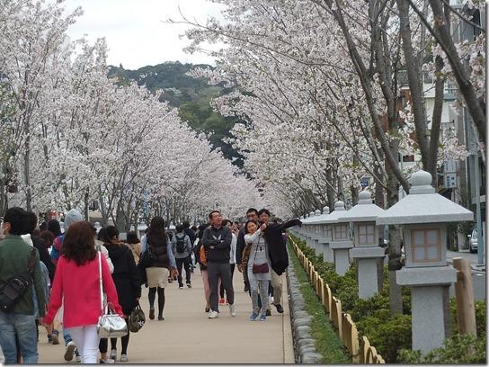 鎌倉 牡丹 桜 255