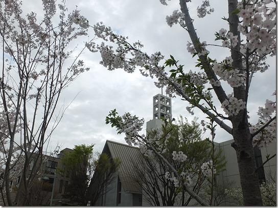 鎌倉 牡丹 桜 261