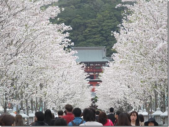 鎌倉 牡丹 桜 263