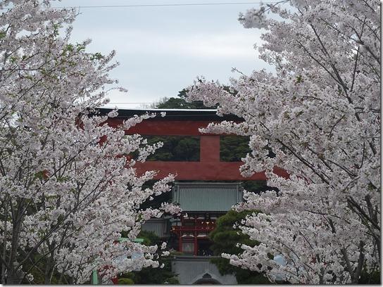 鎌倉 牡丹 桜 271