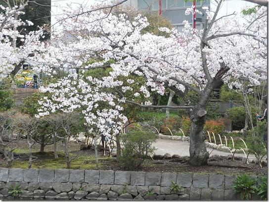 鎌倉 牡丹 桜 277