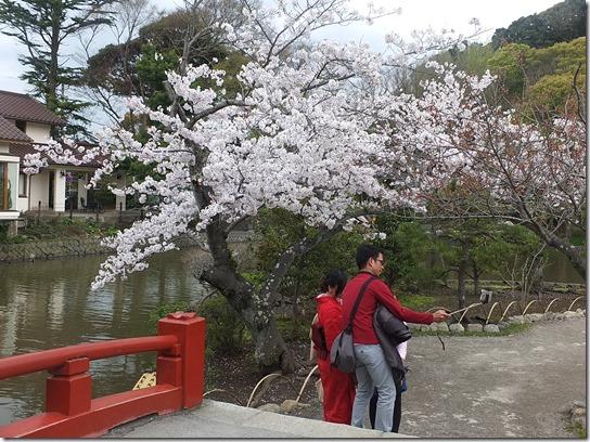 鎌倉 牡丹 桜 280