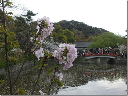 鎌倉 牡丹 桜 284