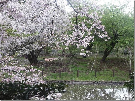 鎌倉 牡丹 桜 332