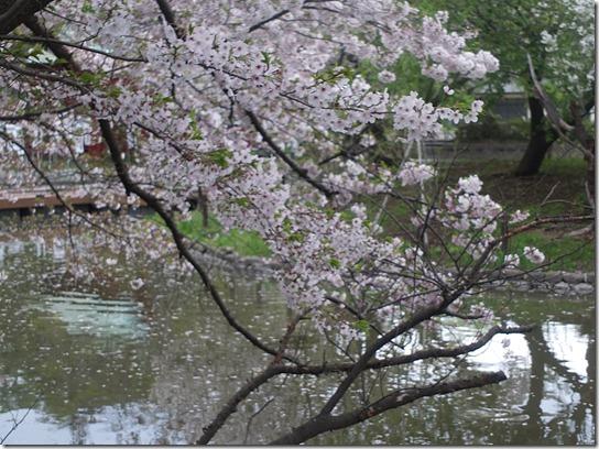 鎌倉 牡丹 桜 348