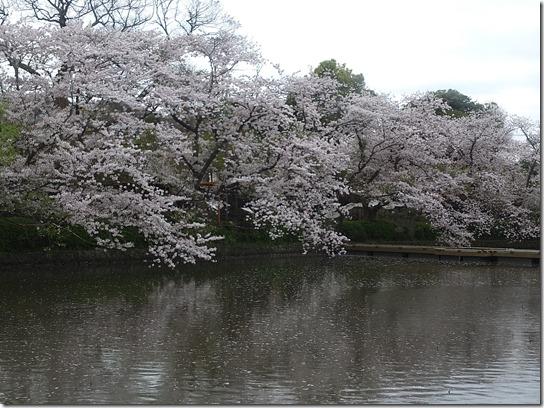 鎌倉 牡丹 桜 390