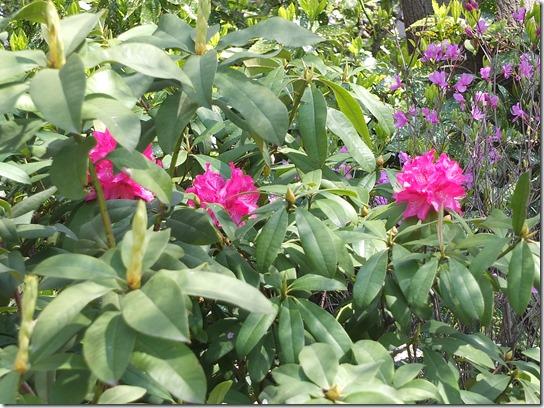 鎌倉 牡丹 桜 474