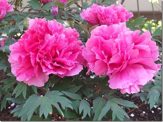 鎌倉 牡丹 桜 481