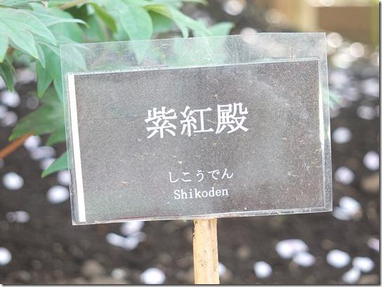 鎌倉 牡丹 桜 482