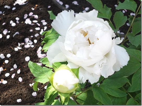鎌倉 牡丹 桜 483