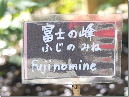 鎌倉 牡丹 桜 484
