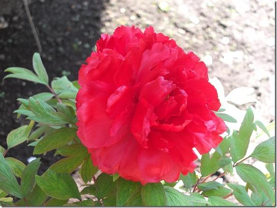 鎌倉 牡丹 桜 487