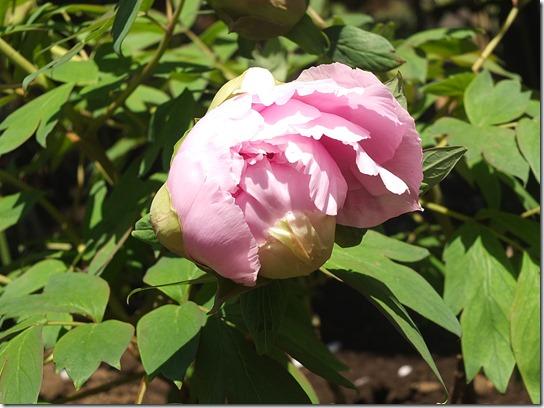 鎌倉 牡丹 桜 492