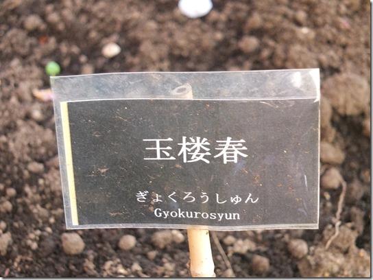 鎌倉 牡丹 桜 502