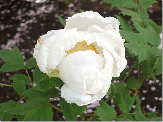 鎌倉 牡丹 桜 519