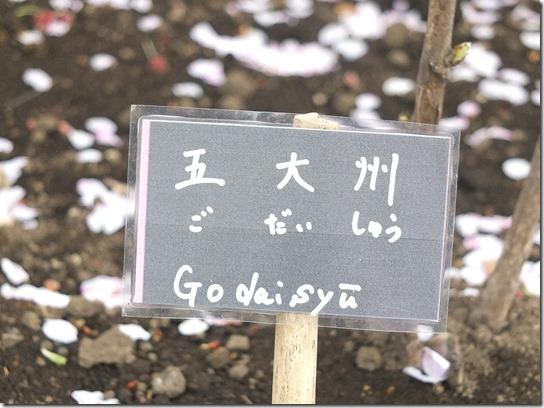 鎌倉 牡丹 桜 520