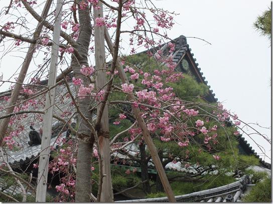 2017京都桜 892