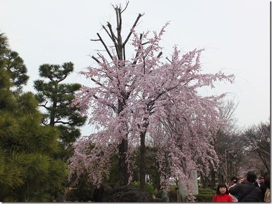 2017京都桜 897