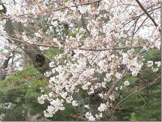 2017京都桜 908