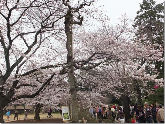 2017京都桜 916