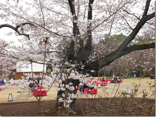 2017京都桜 921
