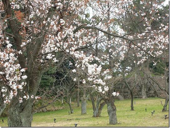 2017京都桜 935