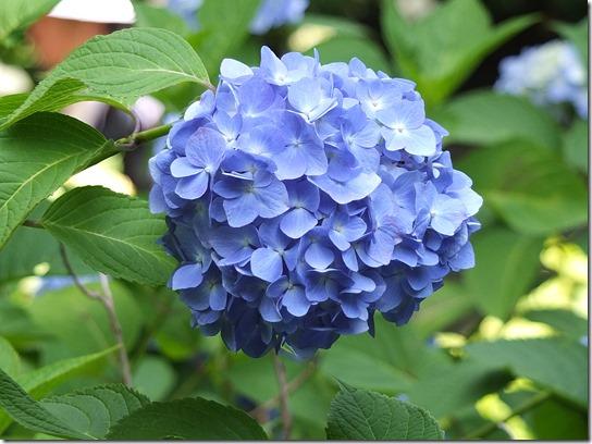 奈良・京都紫陽花2017 020