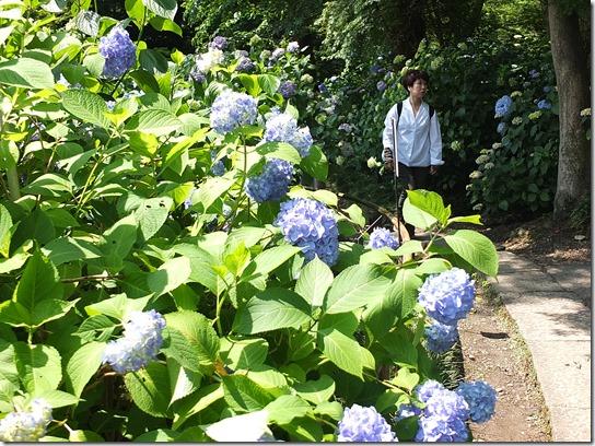 奈良・京都紫陽花2017 027