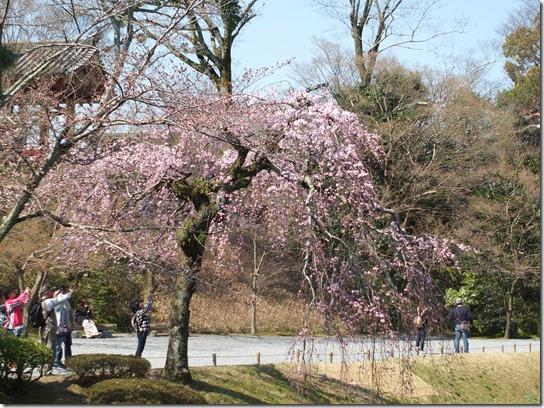 2017京都桜 036