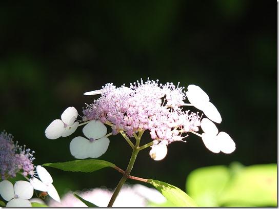奈良・京都紫陽花2017 038