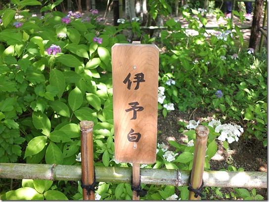 奈良・京都紫陽花2017 049