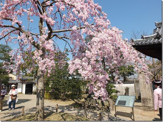 2017京都桜 050