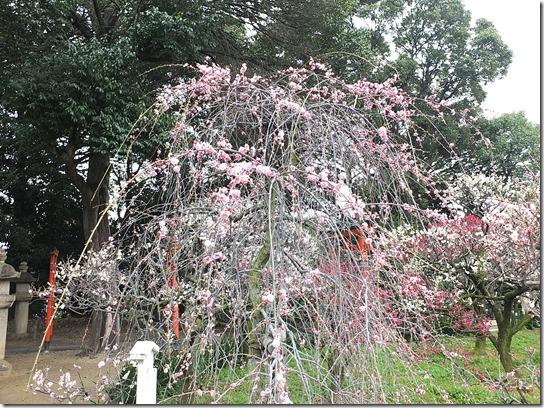 2017 関西 梅 052