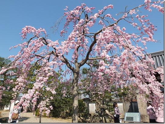 2017京都桜 053
